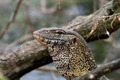 Monitor lizard in tanzania Royalty Free Stock Images
