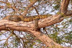Monitor lizard in tanzania Stock Photography