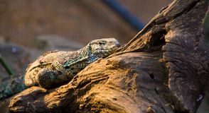 Monitor lizard in tanzania Royalty Free Stock Image