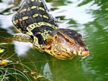 Monitor Lizard Thailand Royalty Free Stock Photography
