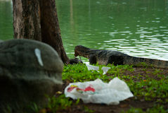 Monitor lizard about to eat fish, Lumphini park Stock Images