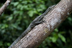 Monitor lizard on the tree branch. Young monitor lizard seen in Malaysian rainforest stock image