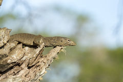 Monitor Lizard in a Tree. Stock Photography
