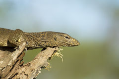 Monitor Lizard in a Tree. Stock Image