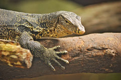 Monitor lizard on a tree trunk Royalty Free Stock Image