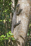 Monitor Lizard on a Tree, Whitsunday Islands Royalty Free Stock Image