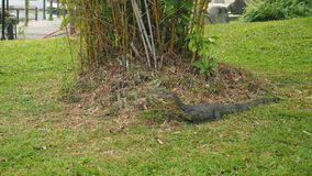 Monitor lizard under a tree Stock Images