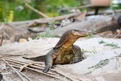 Monitor lizard Royalty Free Stock Photography