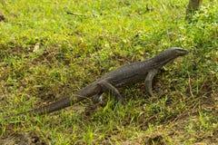Monitor lizard varanus bengalensis in National wildlife park Y. Ala Sri Lanka stock images