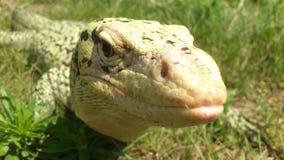Monitor Lizard Stock Photos