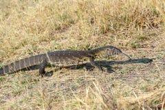 Monitor Lizard, Varanus niloticus on savanna Stock Photos