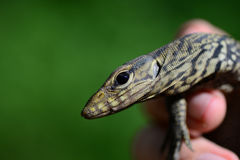 Monitor Lizard - Varanus salvador - Thailand Reptiles Royalty Free Stock Photo
