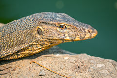 Monitor lizard Varanus salvator Stock Photo