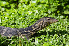 Monitor lizard, Varanus salvator Stock Photos