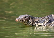 Monitor lizard Varanus salvator live in Lumpini park. Bangkok Royalty Free Stock Photos