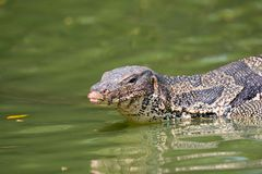 Monitor lizard Varanus salvator live in Lumpini park. Bangkok Stock Photography