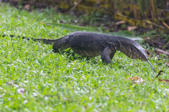 Monitor lizard (Varanus salvator) in park in  Singapore Royalty Free Stock Photo