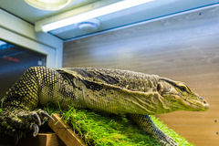 Monitor lizard (Varanus) in the terrarium Stock Image