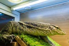 Monitor lizard (Varanus) in the terrarium. Large reptile monitor lizard in a glass cage. Big lizard stock image