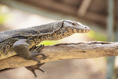 Monitor lizard or Varanus on tree Royalty Free Stock Photography