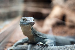 Monitor lizard. A monitor lizard in a vivarium seen through the glass stock images