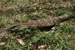 Monitor lizard. The lizard was in a Reserve. He was walking aside the road in the grass Royalty Free Stock Photos