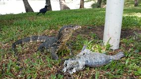 Monitor lizard or Water lizard and prey Stock Photography