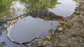 Monitor lizard or Water lizard rests at waterside. In Suanlumphini park Stock Image