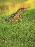 Monitor lizard. The Water monitor, (Varanus salvator) the large species of monitor lizard Royalty Free Stock Image