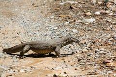 Monitor lizard Royalty Free Stock Image