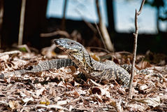 Monitor Lizard in the Whitsundays Royalty Free Stock Photo