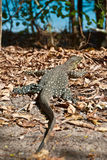 Monitor Lizard in the Whitsundays Royalty Free Stock Photos