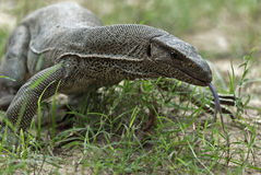 Monitor Lizard in Yala National Park. Sri Lanka Stock Image