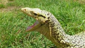 Monitor Lizard Yawning Royalty Free Stock Image
