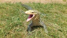 Monitor Lizard Yawning Stock Photos