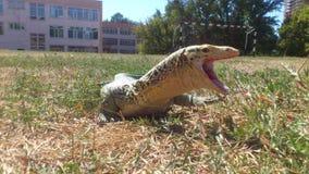 Monitor Lizard Yawning Stock Photo