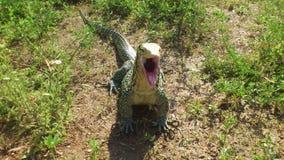 Monitor Lizard Yawning Royalty Free Stock Photography
