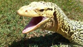 Monitor Lizard Yawning Stock Image