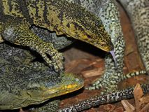 Monitor Lizards Royalty Free Stock Images