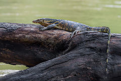 Monitor lizards(Varanus varius) Stock Photo
