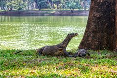 Monitor lizards in the wild in Bangkok. This unique image shows the highly dangerous big komodo dragons in the famous lumpini city park in Bangkok royalty free stock photo