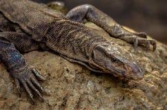 Monitor o primer indio común del lagarto de monitor - wildlif de Bengala Imágenes de archivo libres de regalías