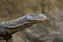 Monitor - rudicollis Varanus Royalty-vrije Stock Fotografie