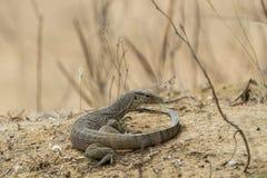 Lizard in Yala National Park, Sri Lanka royalty free stock photo