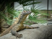 Monitor Lizard on a rock royalty free stock photos