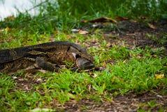 Monitoreidechse, die Schildkröte, mittleren Schuss, Lumphin isst Stockfotografie