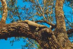 Monitorhagedis op boom Stock Afbeeldingen