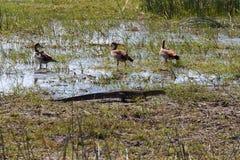 Monitoru ptaka i jaszczurki gwizdanie nurkuje, Botswana, Afryka Fotografia Stock