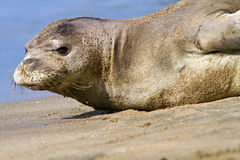 Monje hawaiano Seal On Beach imagen de archivo libre de regalías