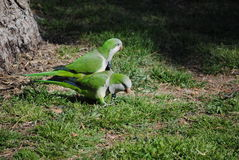 Monje Parakeet Fotografía de archivo libre de regalías